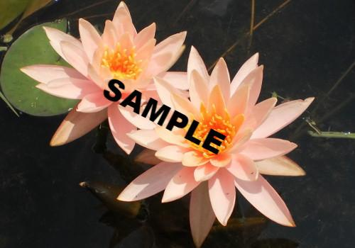 Assorted Peach Perennial Waterlily