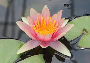 Comanche - Changeable Perennial Waterlily