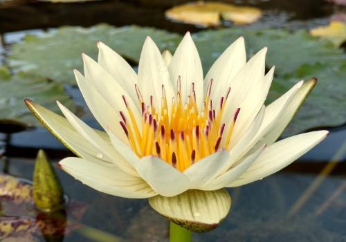 Crystal - White Day Blooming Annual Waterlily