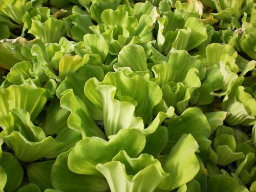 Curly Leaf Water Lettuce - Floating Pond Plant