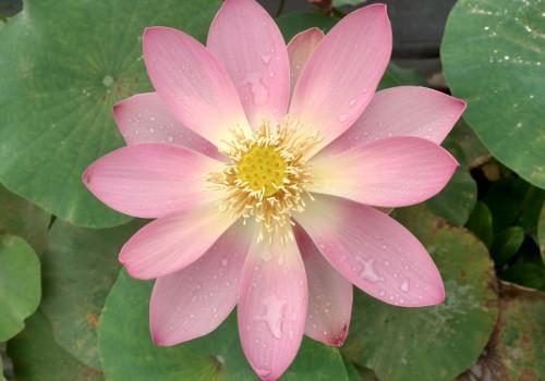 First Lady - Perennial Water Lotus