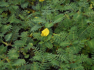 Giant Sensitive Plant (Aeschynomene Fluitans) - See Restrictions