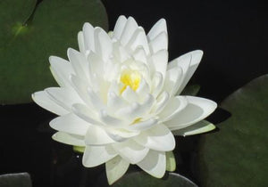 Nymphaea 'Gonnere' - White Perennial Waterlily