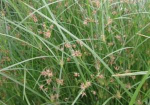 Hardy Umbrella Grass (Cyperus longus)