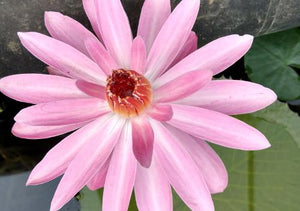 Hitchcock - Pink Night Blooming Waterlily