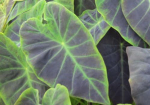 Imperial Taro (Colocasia antiquorum)