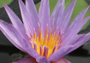 Nymphaea 'Islamorada' - Purple Day Blooming Annual Waterlily