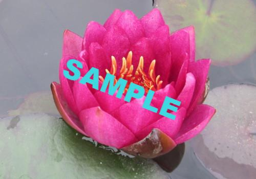 Assorted Red Perennial Waterlily