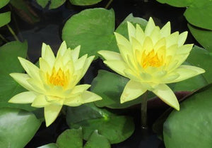 Joey Tomocik - Yellow Perennial Waterlily