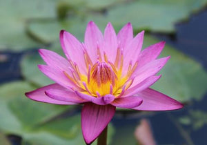 Maroon-Pink Annual Waterlily