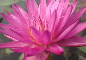 Nymphaea 'Miami Rose' - Day Blooming Annual Waterlily