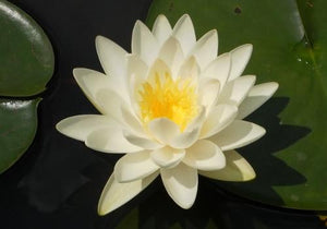 Odorata - White Perennial Waterlily