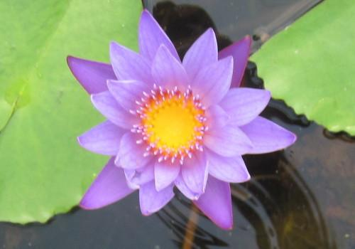Nymphaea 'Panama Pacific' - Purple Day Blooming Annual Waterlily