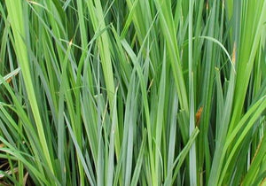 Sedge (Carex. spp.)