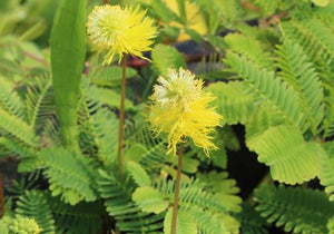 Sensitive Plant (Neptunia Aquatica)