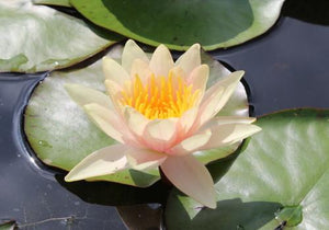 Nymphaea 'Sioux' - Changeable Perennial Waterlily