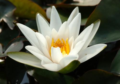 Nymphaea 'Snow Princess' - Pygmy/Dwarf White Perennial Waterlily