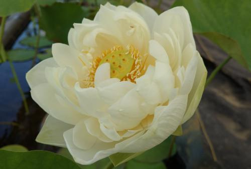 Spring Bird - Perennial Water Lotus