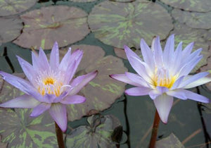 Star of Siam - Annual Waterlily