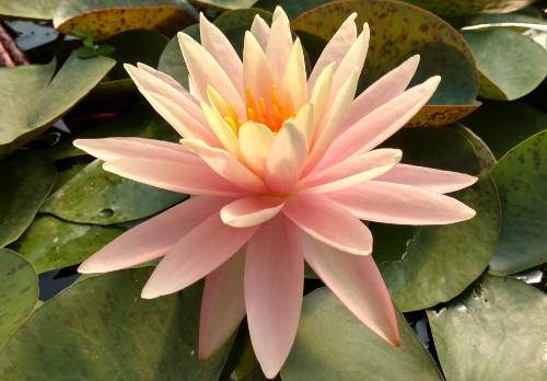 Nymphaea 'Sunny Pink' - Peach Perennial Waterlily