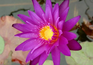 Nymphaea 'Tanzanite' - Purple Day Blooming Annual Waterlily