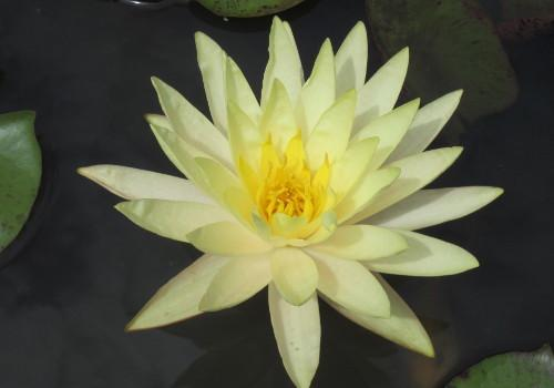 Nymphaea 'Texas Dawn' - Yellow Perennial Waterlily