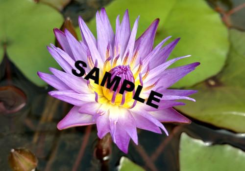 Nymphaea 'Tina' - Purple Day Blooming Annual Waterlily