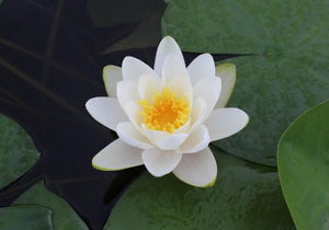 Nymphaea 'Virginalis' - White Perennial Waterlily