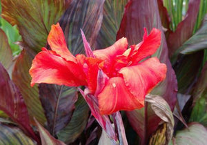 Red Canna (Canna 'Red King Humbert')
