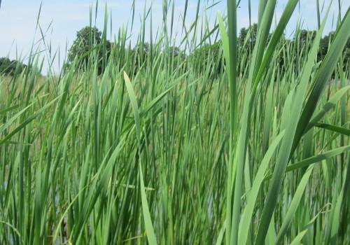 Common Cattail (Typha Latifolia)