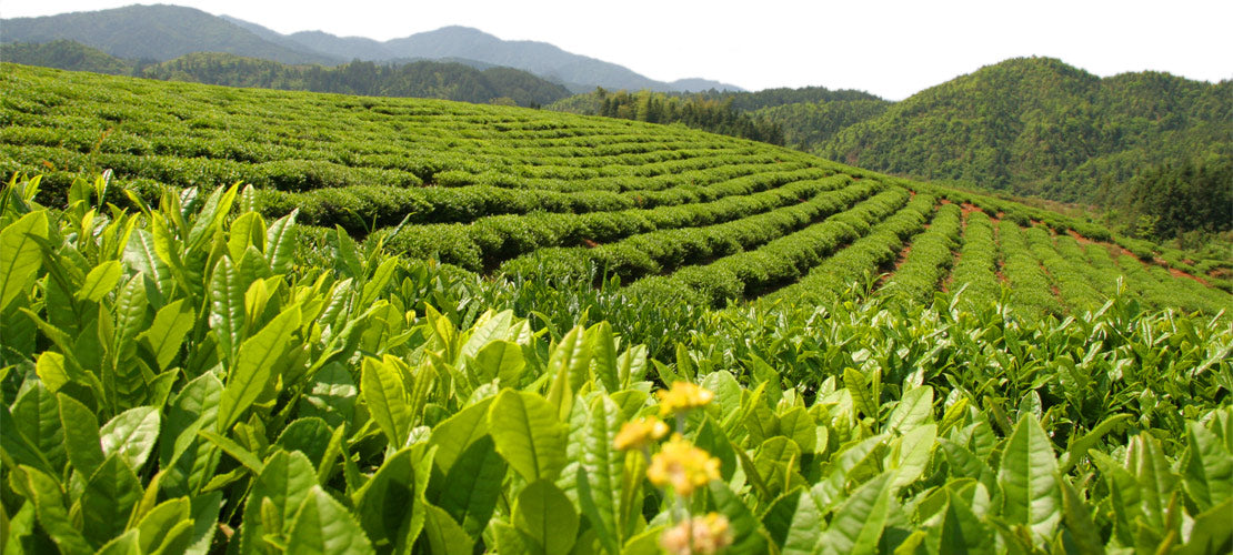 organic tea fields