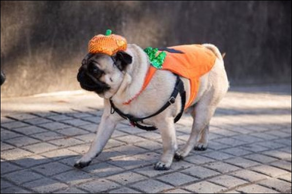 Pumpkin Dog Costume