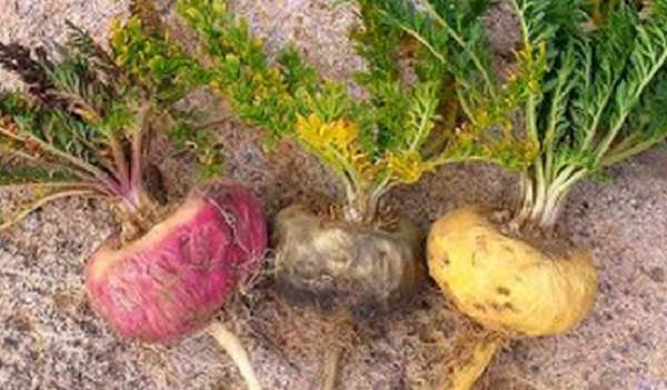 Difference Between Yellow, Red & Black Maca Root