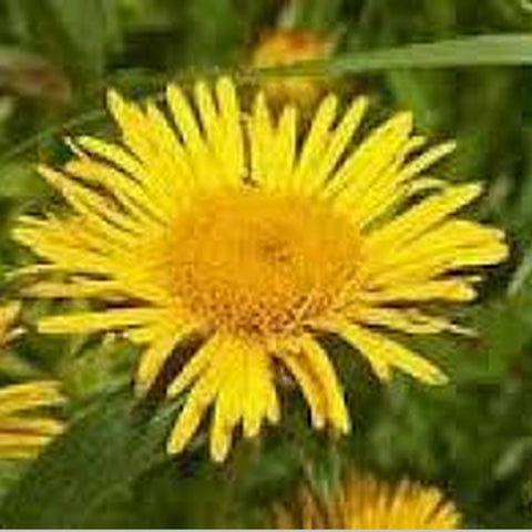 Pushkarmool Herbal powder (Inula Racemosa) Kashmira/Poushkara/Puskara mula/Sugandhikam