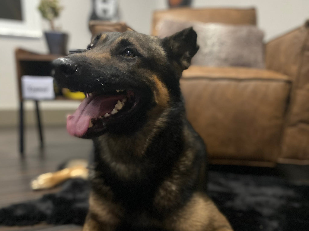 trikos-personal-protection-dog-laying-beside-couch