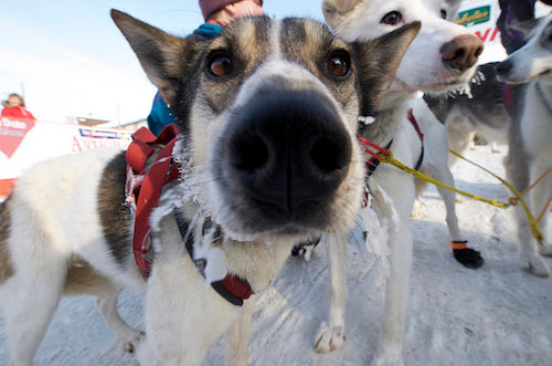 Mushing Dog Nose
