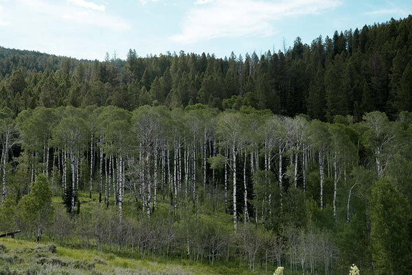The woods of Jackson, WY