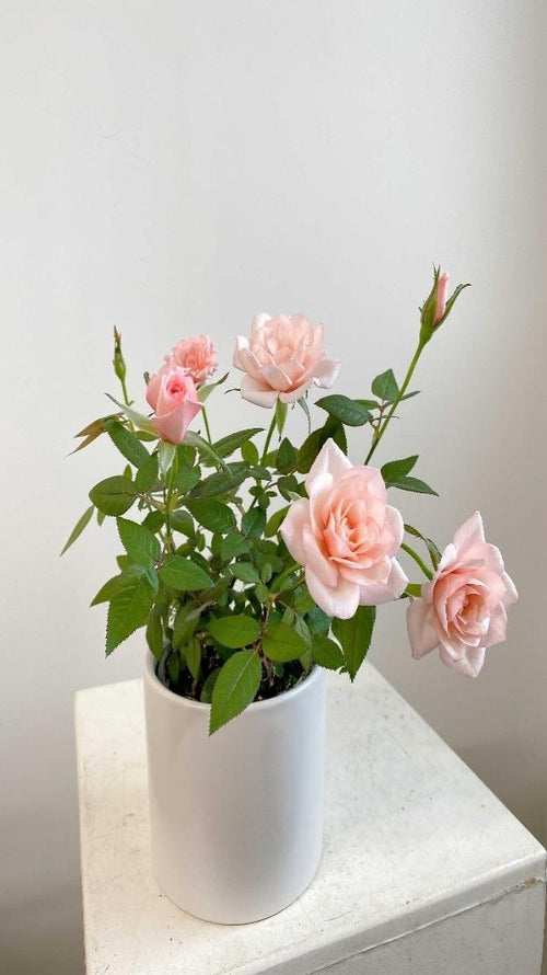 Vancouver Rose Plant - Vancouver Plant Delivery