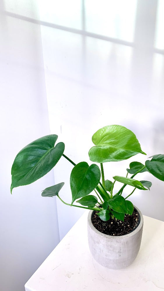 Monstera Split Leaf