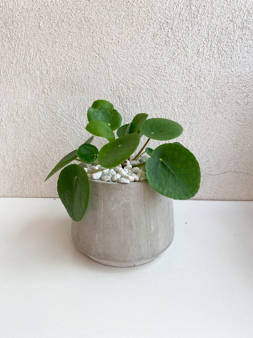 Pilea Peperomioides Plant