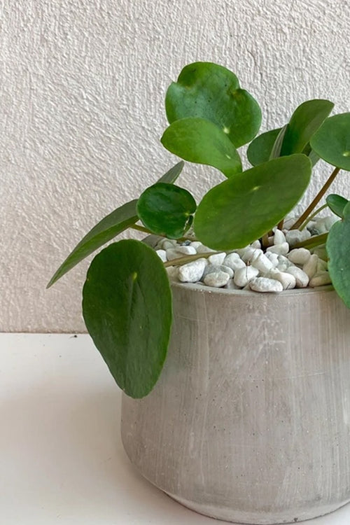 Vancouver Pilea Peperomioides Plant - Vancouver Plant Delivery