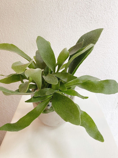 Vancouver Staghorn Fern - Vancouver Plant Delivery