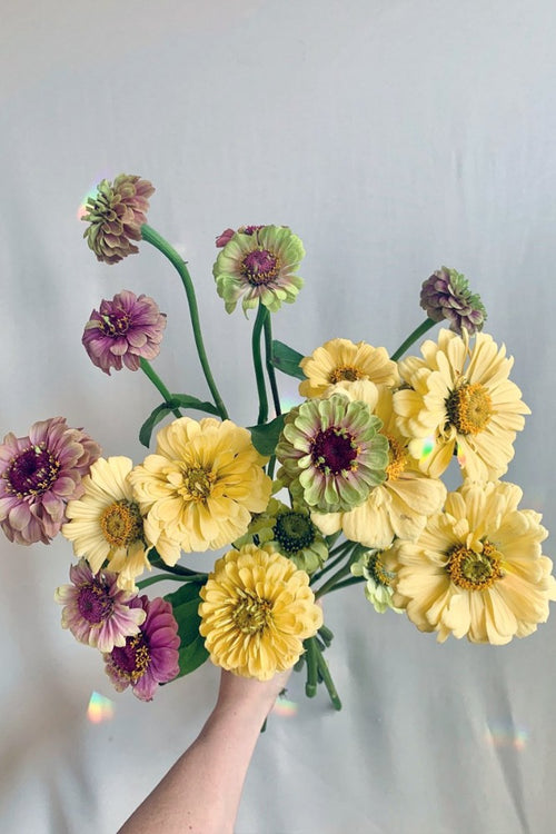 Zinnia Bundle