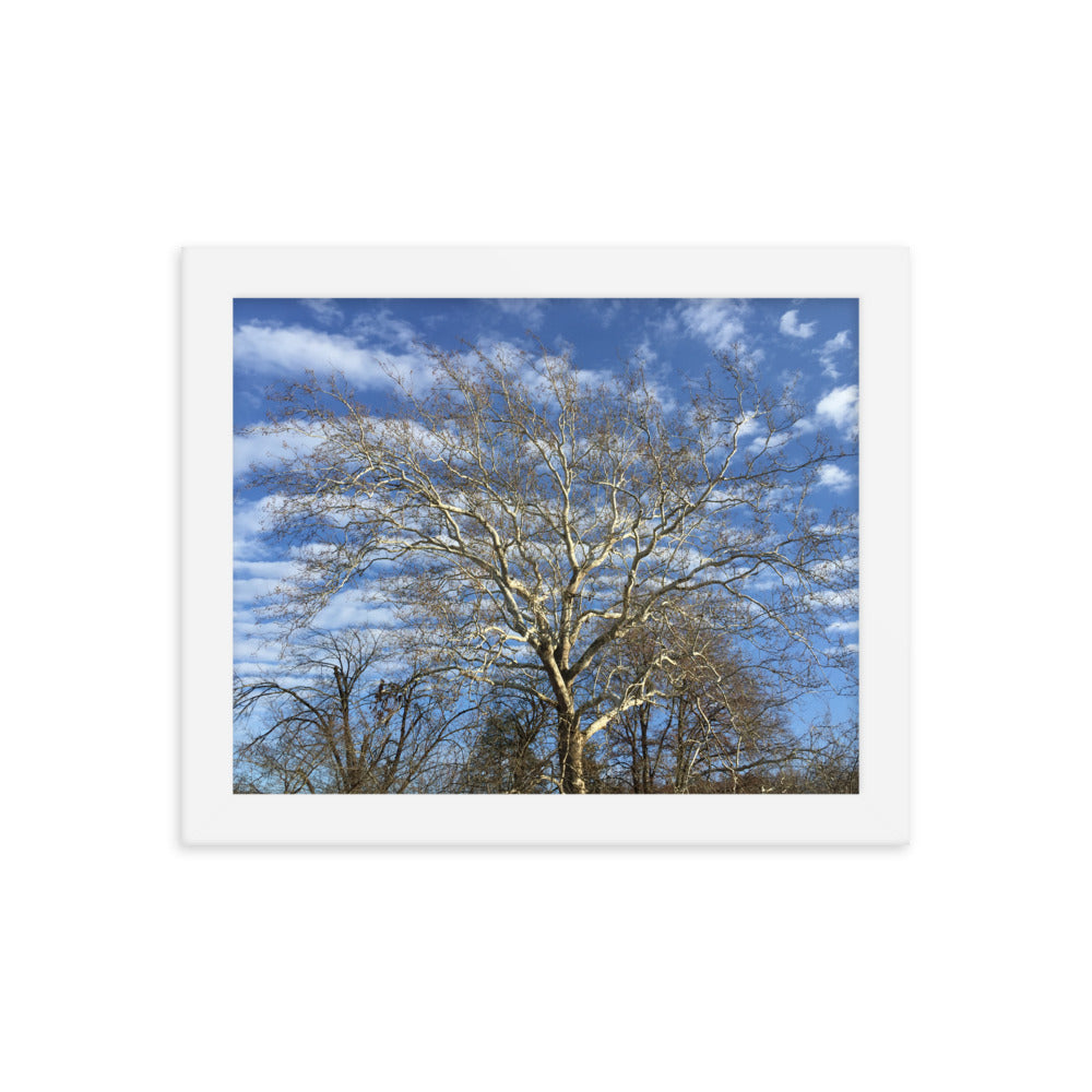 Sycamore Tree Framed Print - Various Sizes