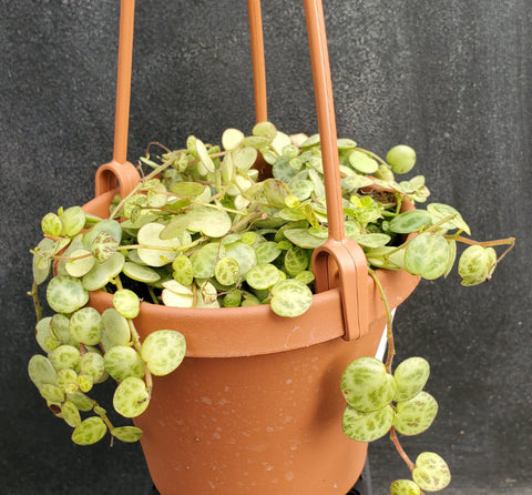 Peperomia prostrata - String of Turtles
