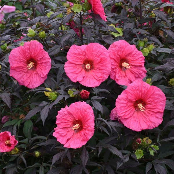 Hibiscus 'Evening Rose'