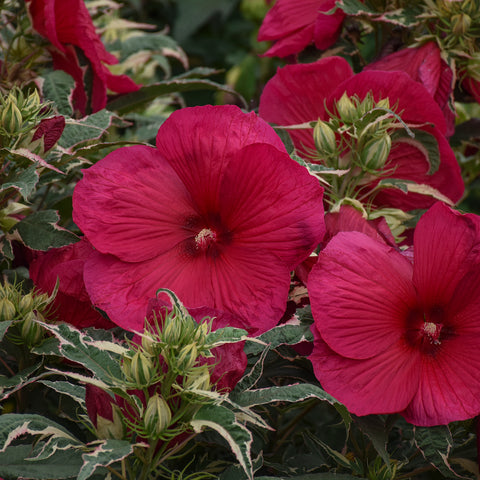 Hibiscus 'Summer Carnival'