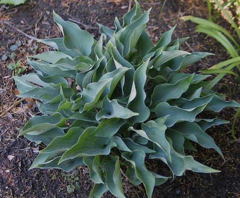 Hosta 'Twinkle Little Star'