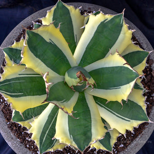Agave titanota SNAGGLE TOOTH