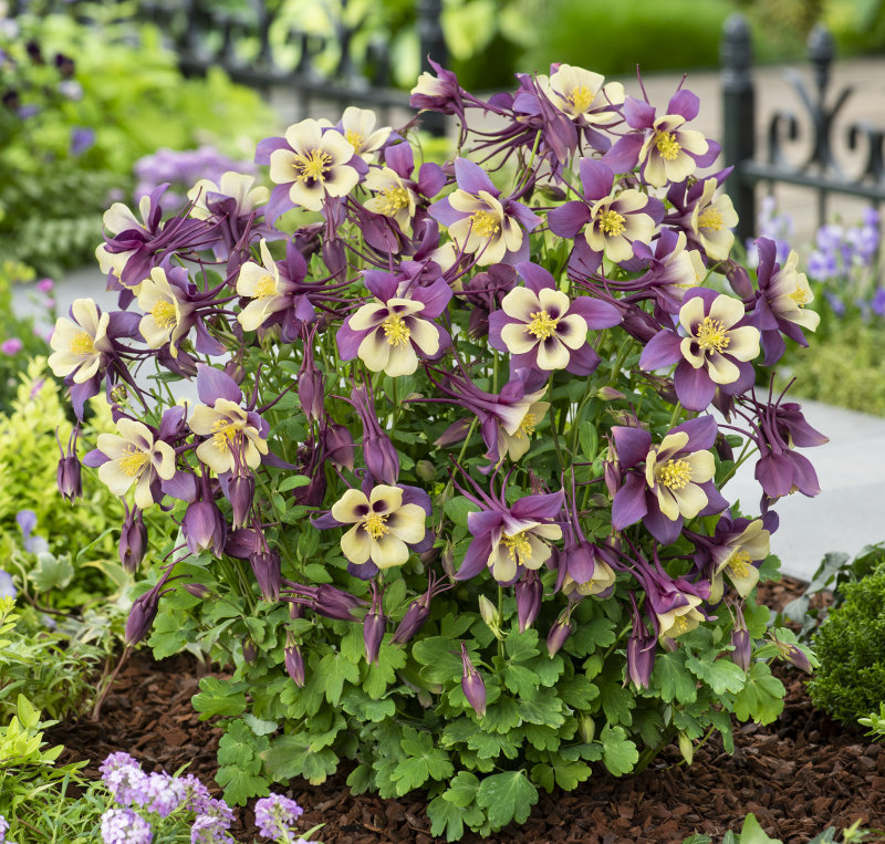 Aquilegia Earlybird Purple Yellow